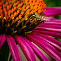 Echinacea And Syphrid by S A Littau
