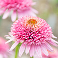 Echinacea Butterfly Kisses by Cheryl Baxter