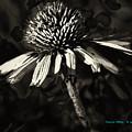 Echinacea  by Charles Muhle