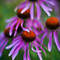 Echinacea Crowd by Mike Reid
