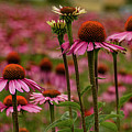 Echinacea Front And Center by Jean Noren