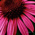 Echinacea IIi by Charles Muhle