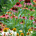 Echinacea Multi Mix by Living Color Photography Lorraine Lynch