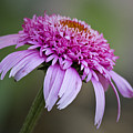 Echinacea Pink Double Delight by Teresa Mucha