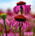 Echinacea Surround by Jean Noren