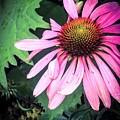 Echinacia Flower In The Rain by Kara Ray