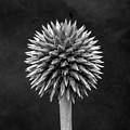 Echinops Monochrome by Jeff Townsend