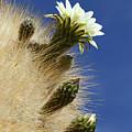 Echinopsis Atacamensis Cactus In Flower by James Brunker