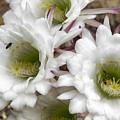 Echinopsis Blossoms  by Saija Lehtonen