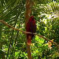 Eclectus Parrot 1 by Chris Flees