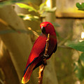 Eclectus Parrot Digital Oil Painting by Chris Flees