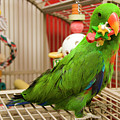 Eclectus Parrot Playing by Jill Lang