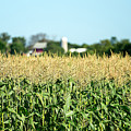 Edge Of Field Of Corn by Todd Klassy