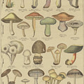 Edible And Poisonous Mushrooms by French School