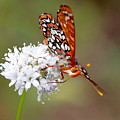 Edith's Checkerspot Five by Nicholas Miller