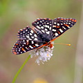 Edith's Checkerspot Three by Nicholas Miller