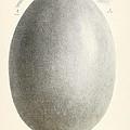 Egg Of Dinornis, Giant Moa, Cenozoic by Biodiversity Heritage Library