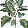 Eggplant, 1735 by Granger