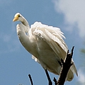 Egret 2 by J M Farris Photography