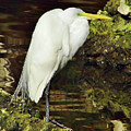 Egret At Rest by D Hackett