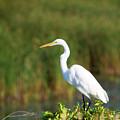 Egret At The River by Linda Kerkau