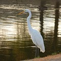 Egret At Waters Edge by Russ Bertlow
