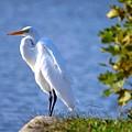 Egret by Bob Cuthbert