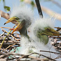 Egret Chicks In Nest With Egg by Carol Groenen
