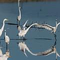 Egret Dance by Robert Potts