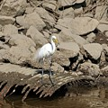 Egret Fishing by Al Powell Photography USA