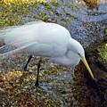 Egret Fishing by D Hackett