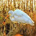 Egret Fishing In Sunset At Forsythe National Wildlife Refuge by Geraldine Scull
