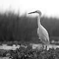 Egret Grazing by William Haney