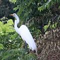 Egret In A Tree by Karen Silvestri