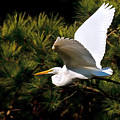 Egret In Flight 1 by Lara Ellis