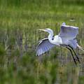 Egret In Flight by Belinda Greb