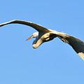 Egret In Flight by Ernst Schwarz