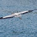 Great Blue Heron In Flight by Paul Quinn