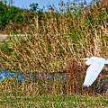 Egret In The Marsh by Bill Perry