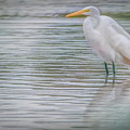 Egret In The Shallows by Teresa Wilson
