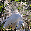 Egret In The Thicket by Lydia Holly