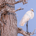 Egret In Tree by Nikki Vig