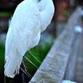 Egret by Jennifer Maas