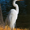 American Egret by Kathryn Meyer
