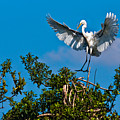 Egret Landing by Christopher Holmes