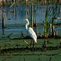 Egret Of The Marsh by Matt Steffen
