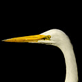Egret On Black by Robert Frederick