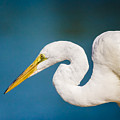 Egret On Blue by Robert Frederick