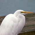 Egret On The Dock by Al Powell Photography USA