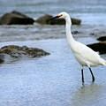 Egret Patrolling by Angela Rath